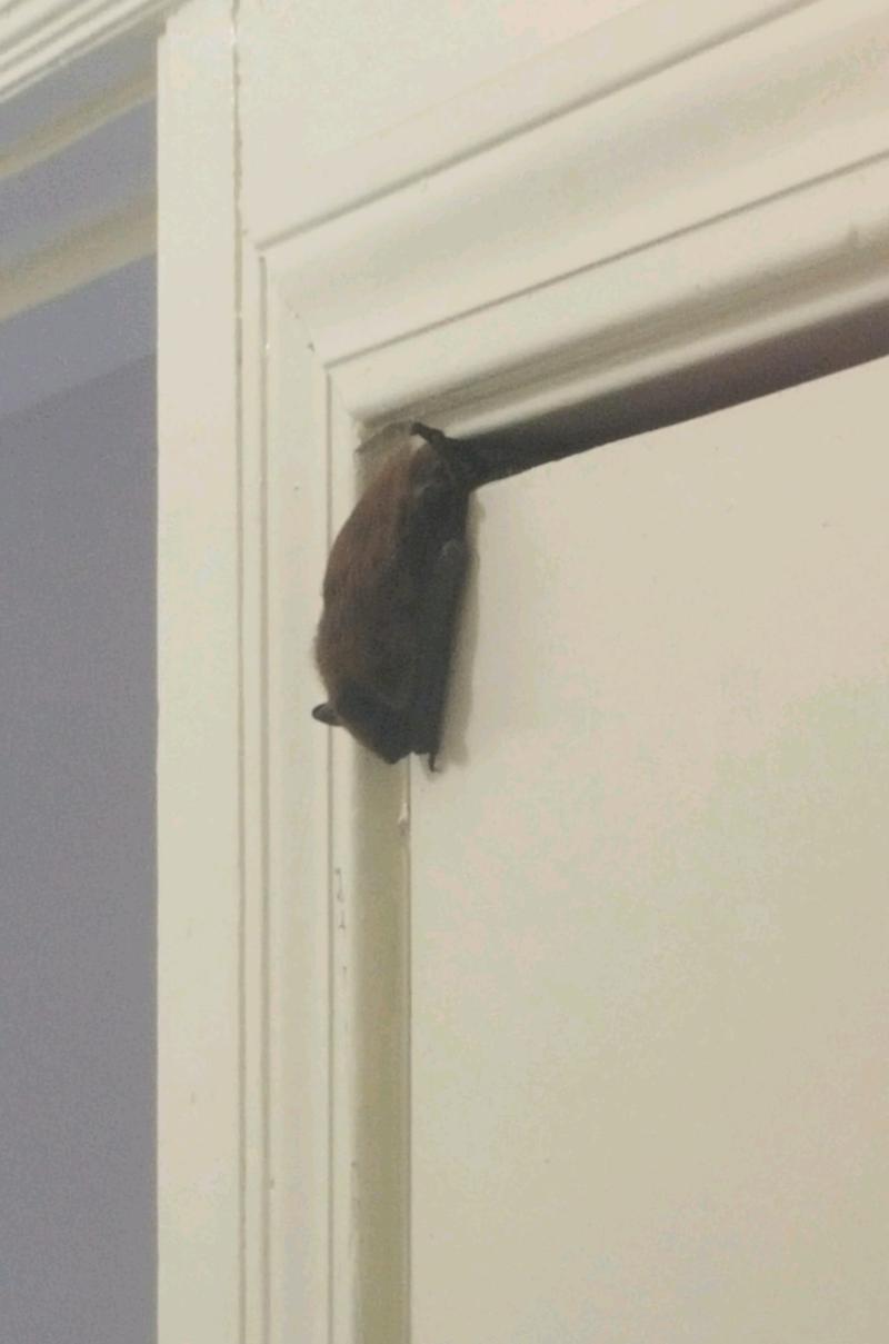 A bat hangs off the top of a door.