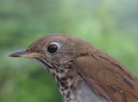 Close-up of a Bicknell's Thrush