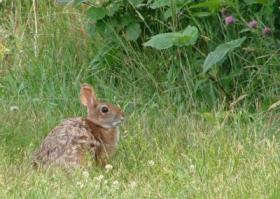 New England Cottontail at Crescent Beach State Park 2010
