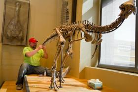 A worker puts finishing touches on the new dinosaur skeleton at Amherst College's Beneski Musuem of Natural History