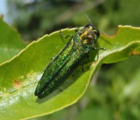 The Emerald Ash Borer, an invasive beetle