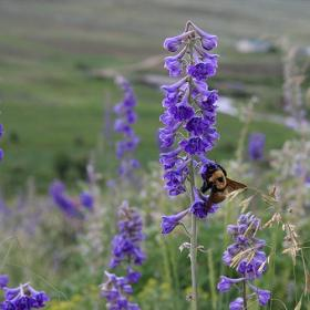 a bumble bee (Bombus nevadensis) foraging on the study's target plant species, tall larkspur (Delphinium barbyei).