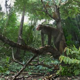 The early ape Proconsul (center) and the primate Dendropithecus (upper right) inhabited a warm and relatively wet, closed canopy tropical seasonal forest 18 million years ago in equatorial eastern Africa (Rusinga Island, Kenya). Image credit: Jason Brougham.