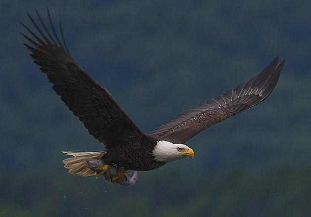 Bald Eagle, CREDIT YATHIN S KRISHNAPPA / WIKIPEDIA