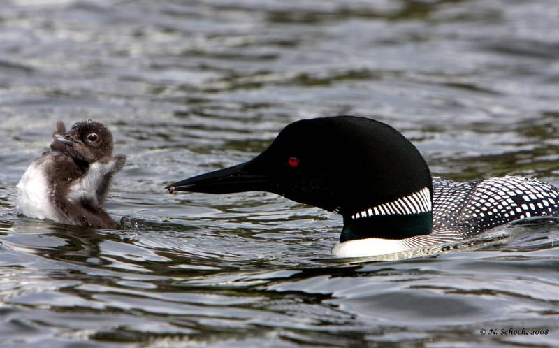 Loon feeding chicks