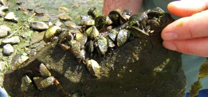 Zebra Mussels on rock