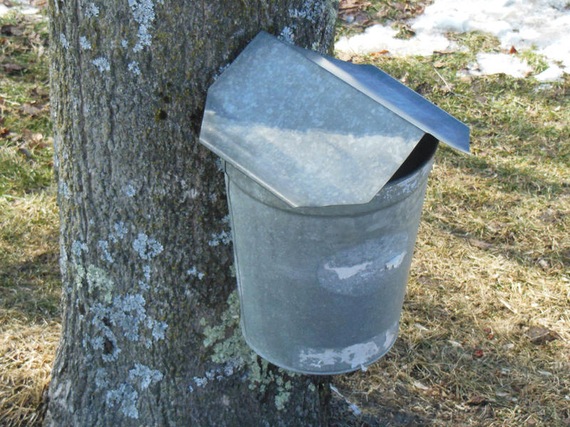 maple bucket on tree