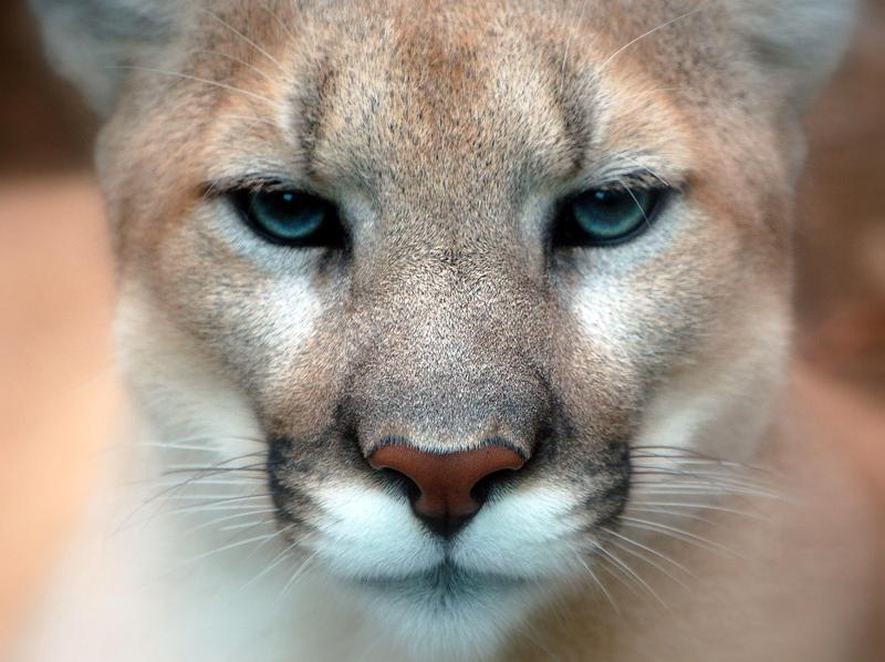 This is a picture of a cougar