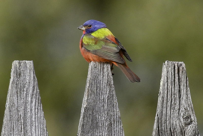 A male Painted Bunting photographed near a bird feeder in Pittsfield, Vermont