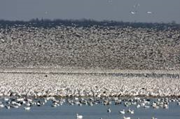 Waterfowl migration at Montezuma National Wildlife Refuge.