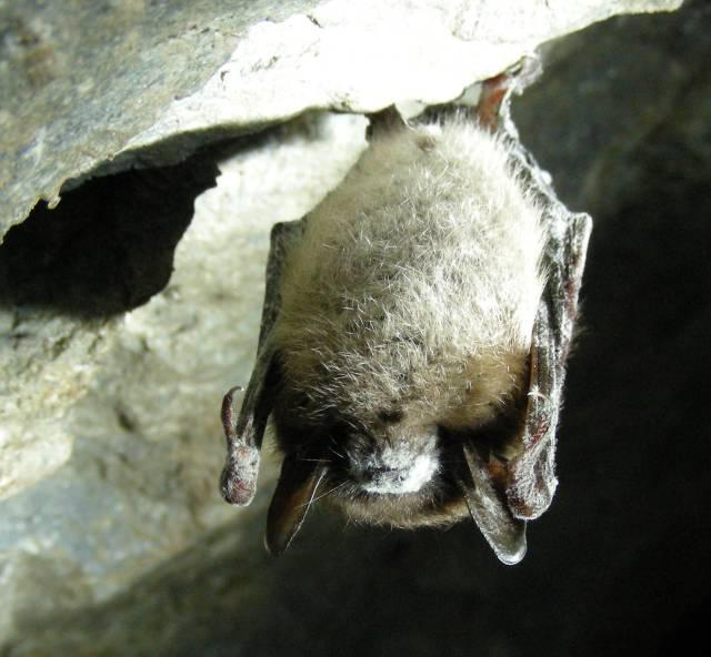 Little Brown Bat with White Nose Syndrome in Greeley Mine, VT