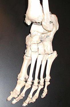 Bones in a human foot