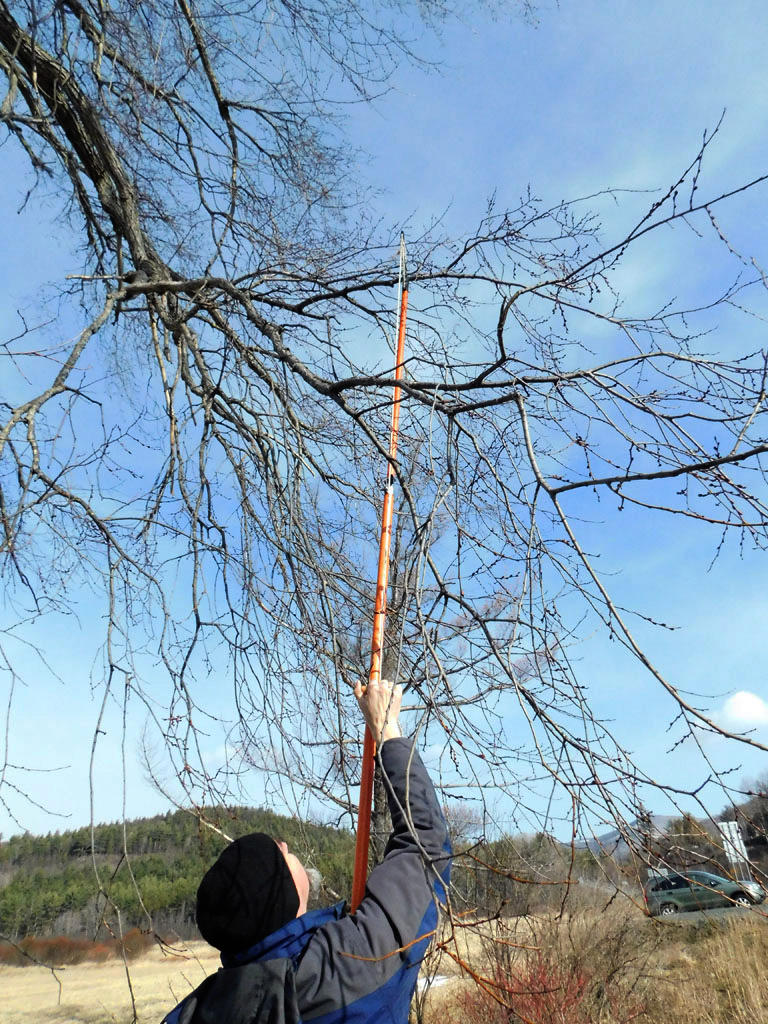 Christian Marks cuts branches from elm tree