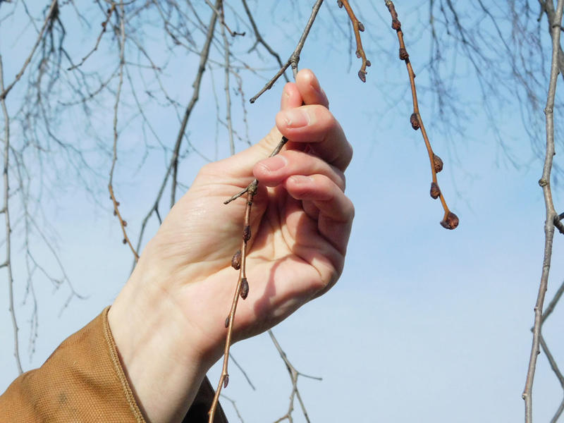 Gus Goodwin shows types of tree buds