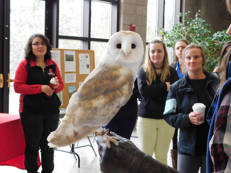 Oz, a barn owl, attracts attention at Clinton Community College environmental trade fair
