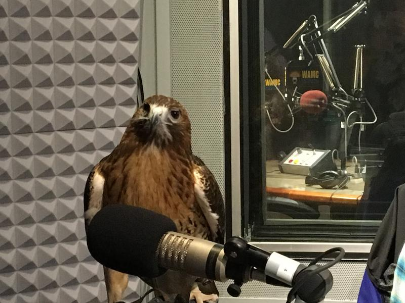Liluye - a Red-Tailed Hawk brought to the studio by Director of the Wildlife Institute of Eastern New York, Trish Marki