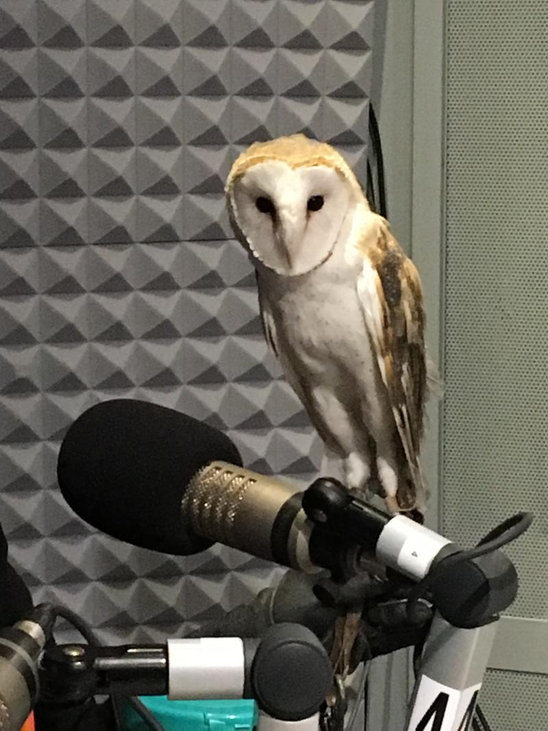 Darwin - a Barn Owl  brought to the studio by Director of the Wildlife Institute of Eastern New York, Trish Marki