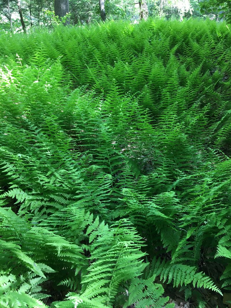 Ferns at Manitoga
