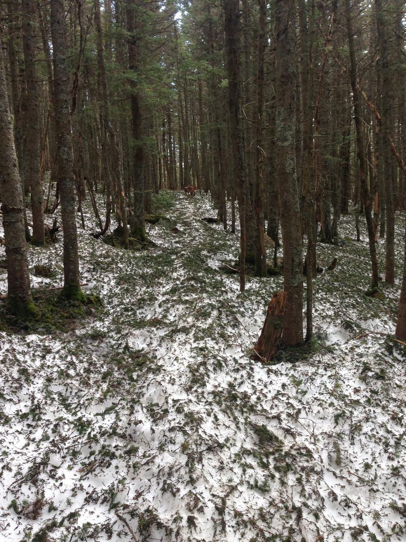 Pine needles cover the snow.