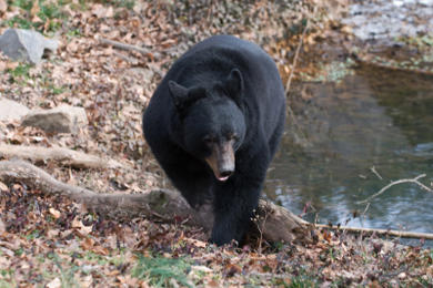 Black bear in Vermont woods