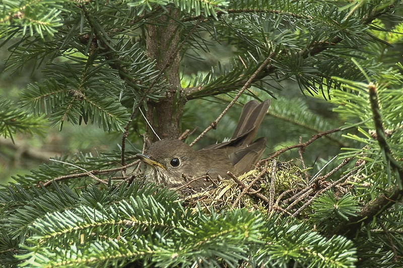 Bicknell's Thrush incubating a nest on Stratton Mountain,Vermont