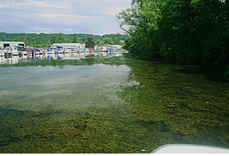 Hydrilla in Cayuga Lake Inlet