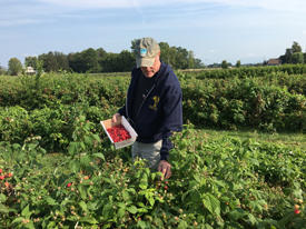 Ralph Gardner Jr. picking raspberries at Samascott Orchards in Kinderhook, NY