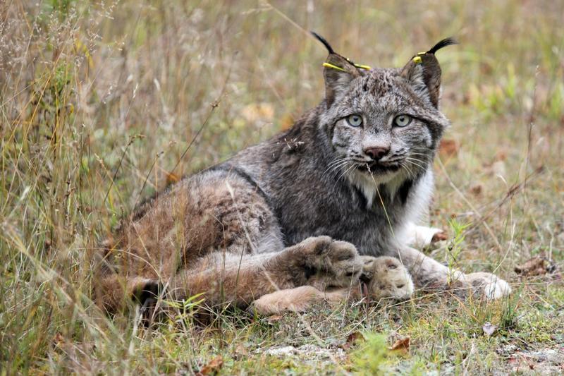 A Canada Lynx
