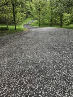 Callery Pear petals littering a driveway