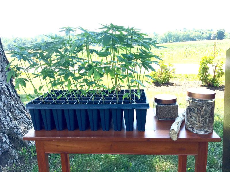 Hemp plants from the greenhouse, ready for transplant.