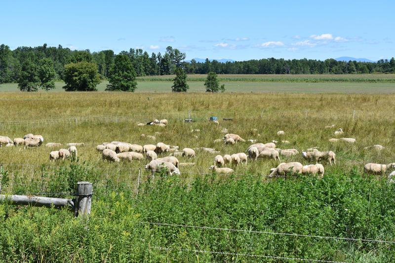 Essex Farm sheep