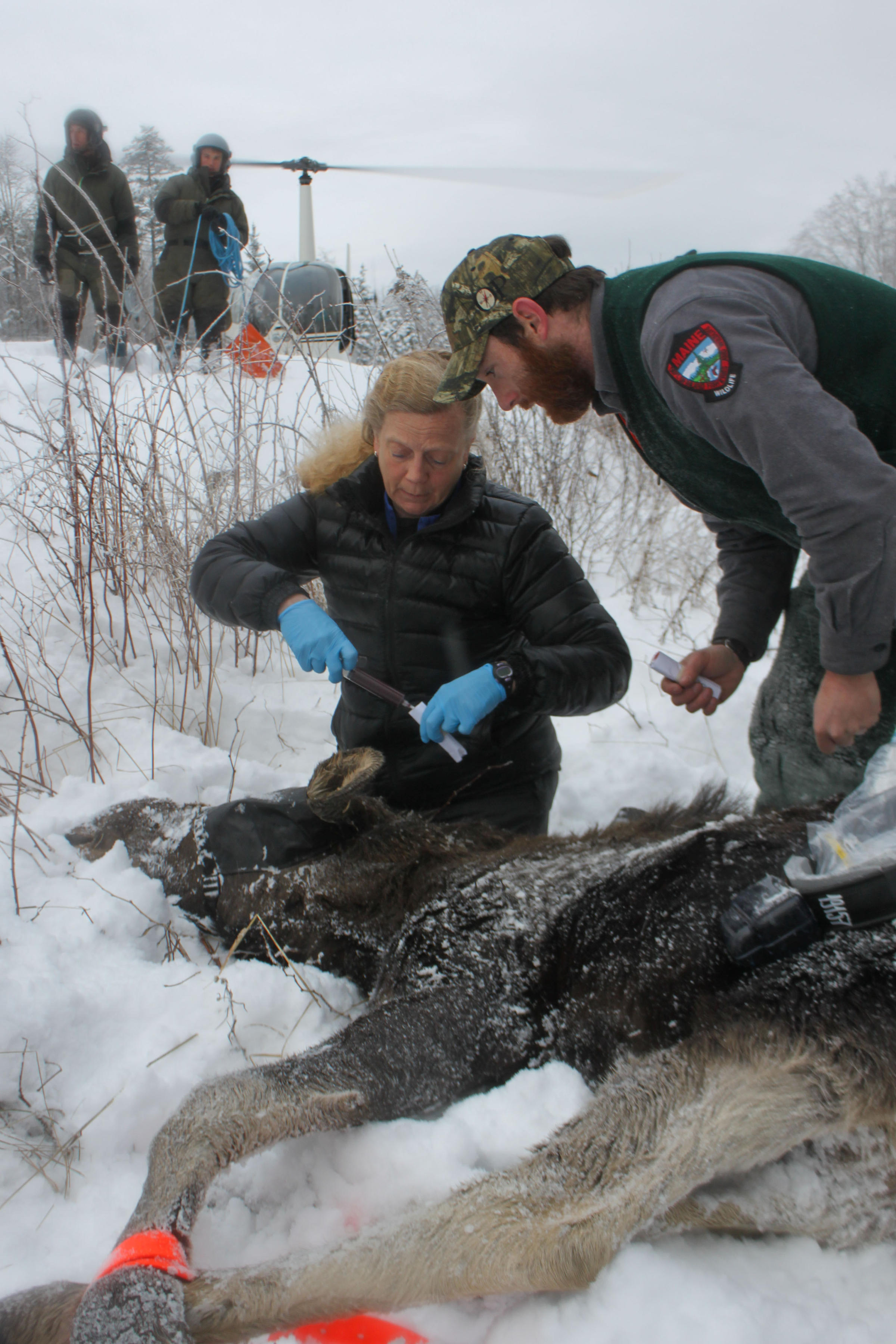 Vermont to start multi year moose study wamc for Vermont fish and wildlife jobs