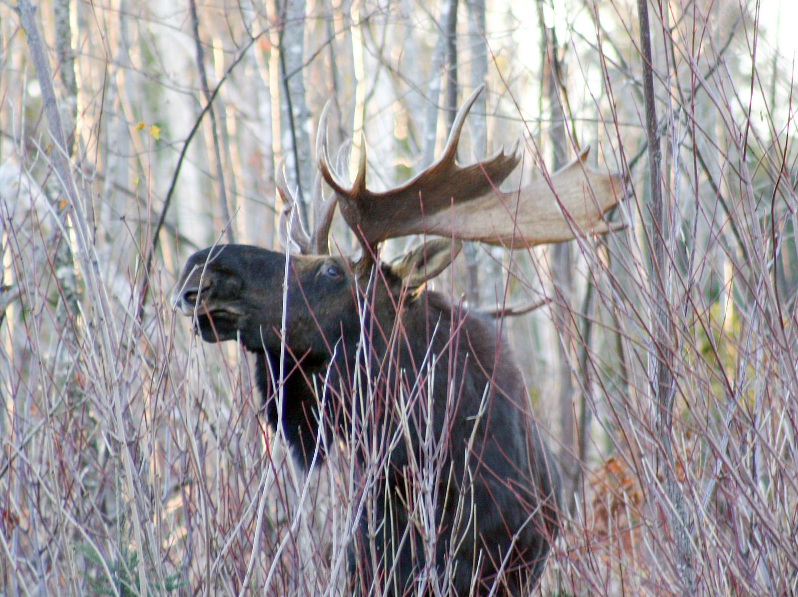 State considers lowering moose hunt permits wamc for Fish and wildlife permit