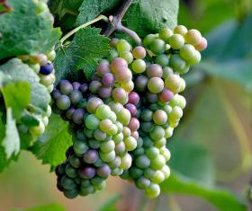 Wineries around the state are importing more grapes this year to offset losses wrought by a long, cold winter.