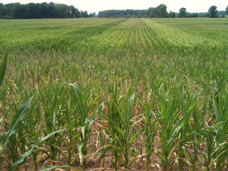 A cornfield in White County with plants about waist-high. Farmers say those should be near full height at  7-9 feet.