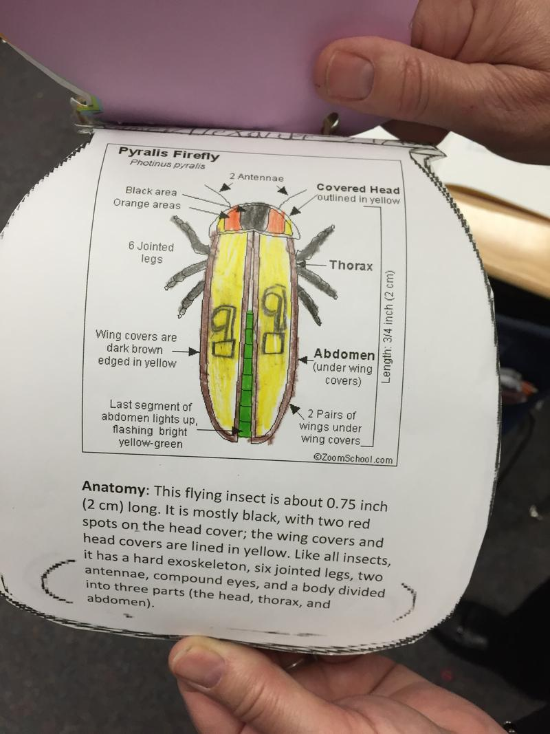 The firefly is part of the science curriculum in Maggie Samudio's classroom.