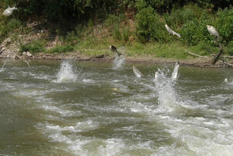 Asian carp flying