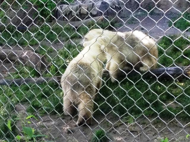 meet kali alaska zoos littlest polar bear swim