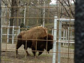 Buffalo roams at the Zoo