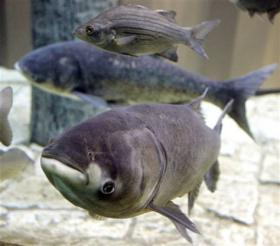 Asian carp is one invasive species causing headaches for the state's environment and its economy.