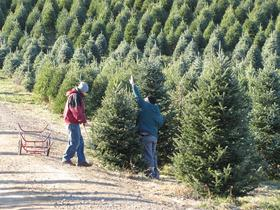 Christmas Tree Growers Get Into Holiday Spirit Innovation Trail