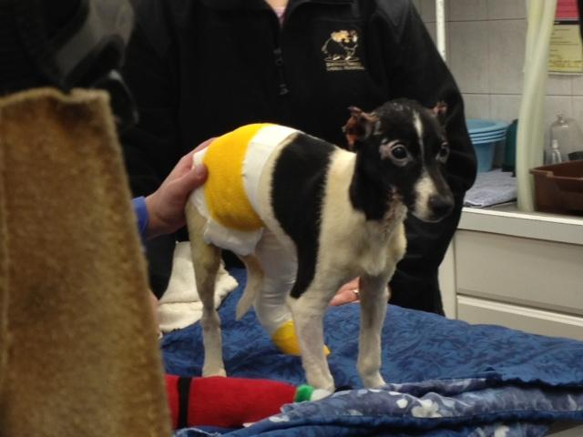 Jack Russell Terrier -named Phoenix recovers from burns
