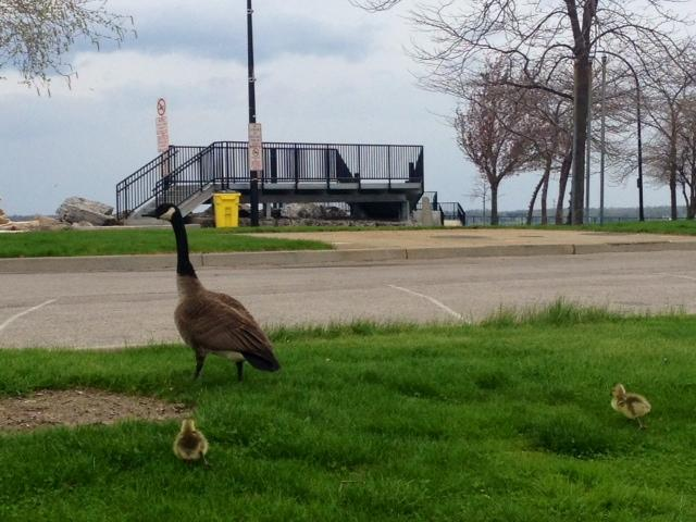 goose and goslings at Erie Basin Marina