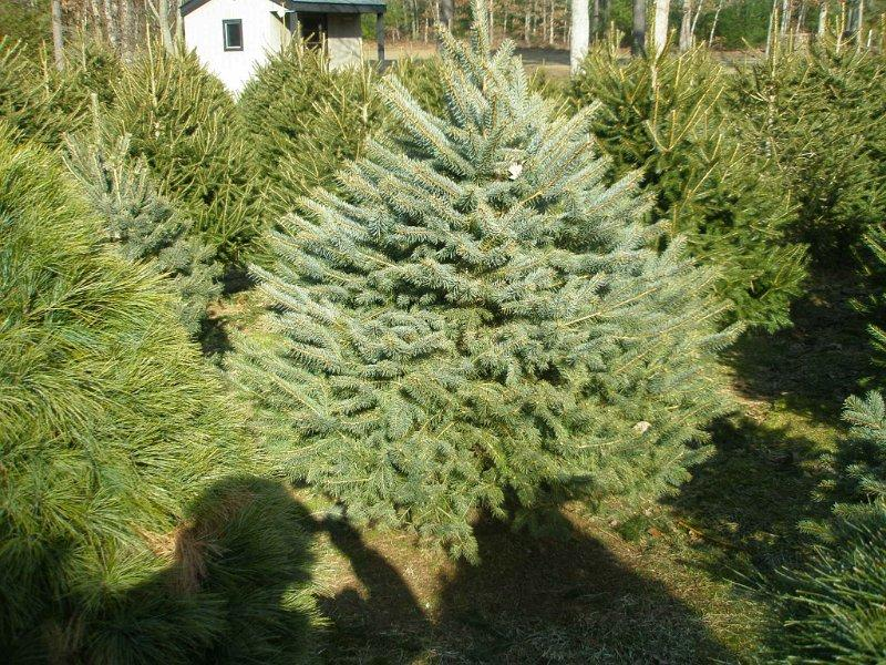 Christmas Tree Growers Get Into Holiday Spirit Wbfo