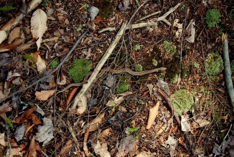 A snake hides amoung the twigs and grasses at the Jackson Falls property in the Town of Aurora. The Western New York Land Conservancy is raising funds to preserve the land.