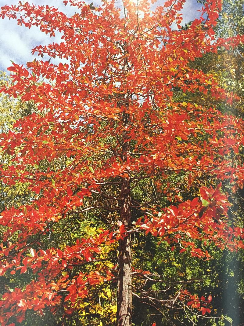 Blackgum (nyssa sylvatica) has beautiful fall color and thrives in a wide range of conditions.