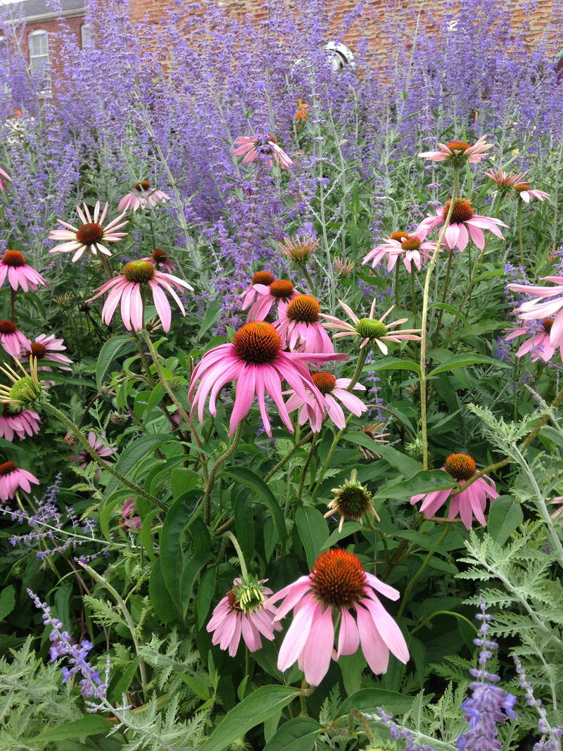 Coneflower (Echinacea purpurea) are the poster plants for native gardening.