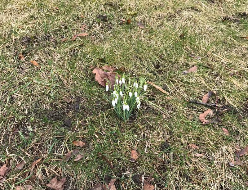 Snowdrops in bloom on Highland Ave., in Buffalo on February 24th