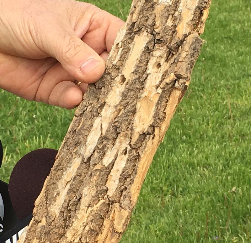 "EAB infestation causes ""blonding"" on the bark of Ash trees"