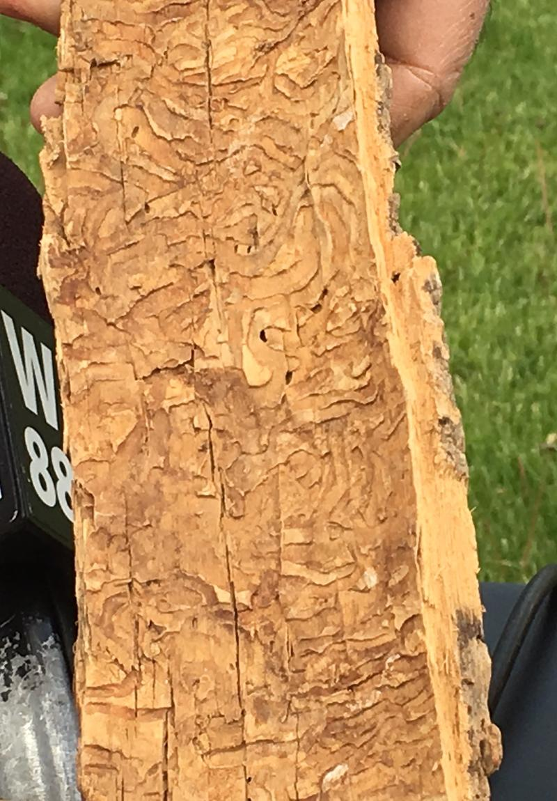 EAB larvae tracks on the back side of Ash tree bark